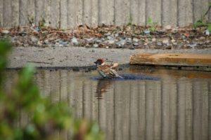 鳥が水浴び1